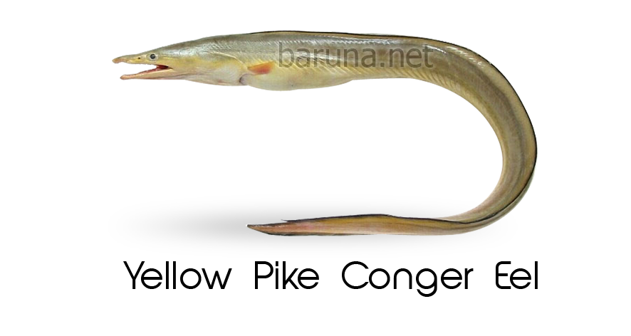 Yellow Pike Conger Eel